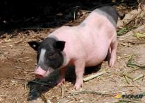 香猪的繁殖力受哪些因素影响?