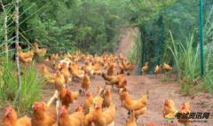 在农村地区养殖100只土鸡的需要多少成本,利润是多少?