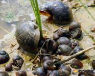 稻田养殖田螺的方法,是一个短,平,快的致富项目
