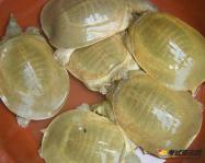 黄沙鳖分布在哪?黄沙鳖有什么功效?